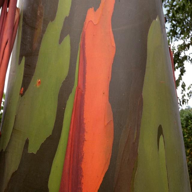 eucalyptus trees - 1